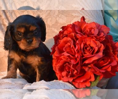 Cavalier King Charles Spaniel PUPPY FOR SALE ADN-130684 - AKC Cavalier King Charles Spaniel