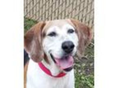 Adopt Lady Bones a White - with Red, Golden, Orange or Chestnut Hound (Unknown