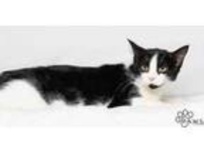 Adopt Tracey a All Black Domestic Shorthair / Domestic Shorthair / Mixed cat in