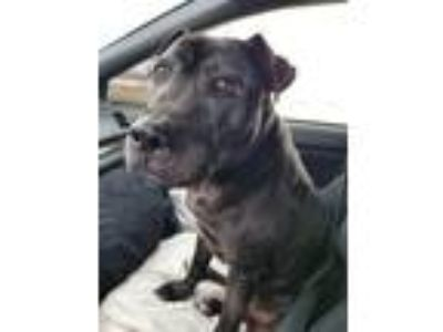 Adopt Toro a Black - with White American Pit Bull Terrier / Mixed dog in