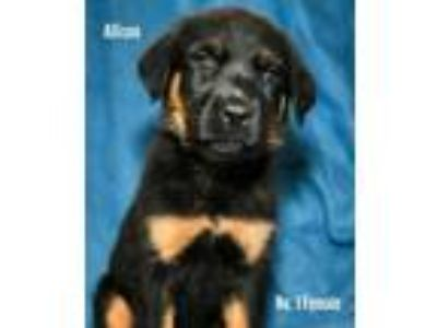 Adopt Allison a Rottweiler, Mixed Breed
