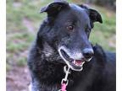 Adopt Chewy a Black Labrador Retriever / Collie / Mixed dog in Corvallis