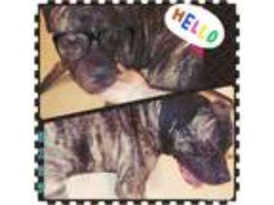 Adopt Mitt a Brindle American Pit Bull Terrier dog in Eatontown, NJ (25224372)