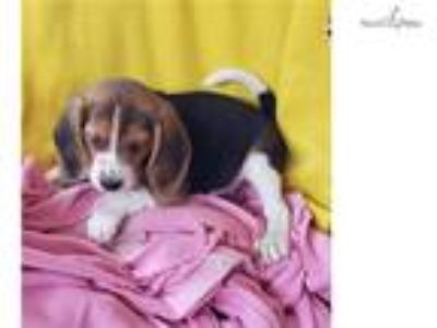 tricolored beagle puppy! microchipped