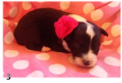 Border Collie PUPPY FOR SALE ADN-107937 - BORDER COLLIE PUPPIES  PURE BRED ARIZONA