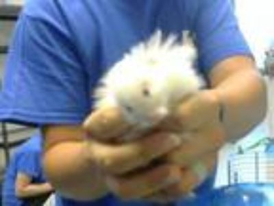 Adopt A315624 a Hamster