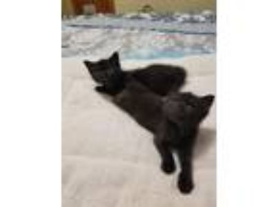 Adopt Bear and Midnight (bonded) a All Black Domestic Shorthair (short coat) cat