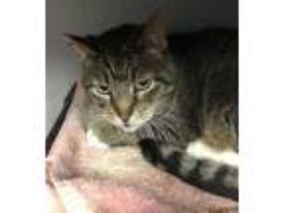 Adopt Wombat a Domestic Short Hair
