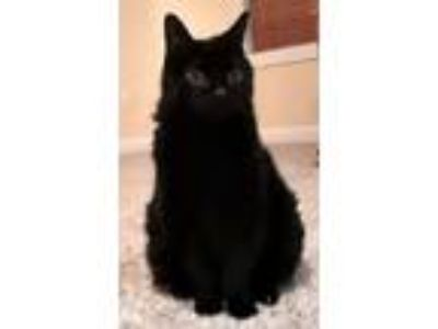 Adopt Declawed Boo Boo a Domestic Shorthair / Mixed (short coat) cat in Valley