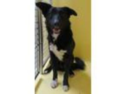 Adopt Skeeter a Border Collie