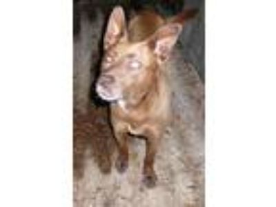 Adopt TWO TOES a Brown/Chocolate - with White Husky / Mixed dog in New Plymouth