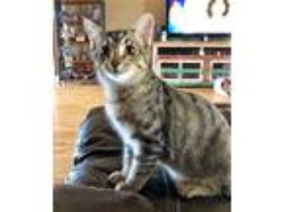 Adopt Carl a Calico or Dilute Calico Domestic Shorthair (short coat) cat in