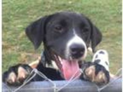 Adopt Pretty Puffin a Labrador Retriever