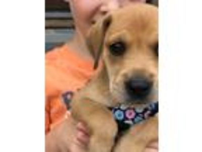 Adopt Clefairy a Tan/Yellow/Fawn Labrador Retriever dog in MCLEAN, VA (25586192)