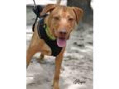Adopt Roger a Red/Golden/Orange/Chestnut Vizsla / Labrador Retriever / Mixed dog