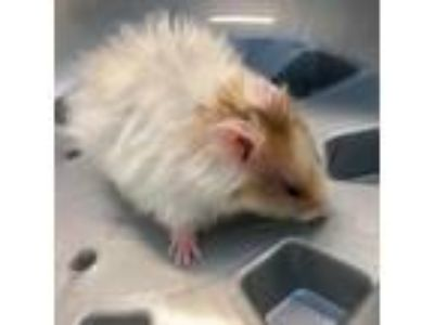 Adopt Sherlock a White Hamster / Hamster / Mixed small animal in Seattle