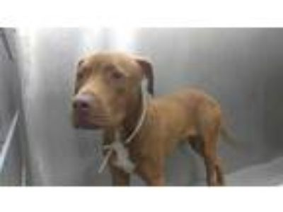 Adopt P-NUTT a Brown/Chocolate Labrador Retriever / Mixed dog in Dallas