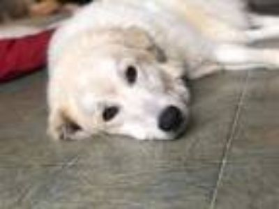 Adopt Callie a White Great Pyrenees / Golden Retriever / Mixed dog in Florence