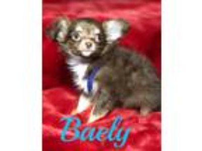 AKC Registered Super Tiny Male Lilac Chocolate Tri Longhair Chihuahua