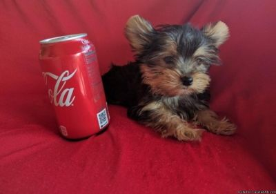Yorkshire Terrier Puppies Ready!!!