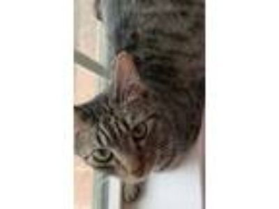 Adopt Tinsley a Brown Tabby Domestic Shorthair (short coat) cat in Pearland