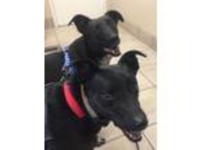 Adopt Boots a Black - with White Labrador Retriever / Australian Cattle Dog /