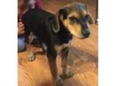 Adopt Rocks a Black Dachshund / Mixed dog in Bloomingdale, IL (25306930)