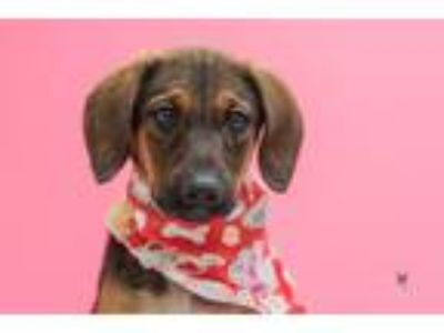 Adopt Pearl a Coonhound / Mixed dog in Madison, GA (25560317)