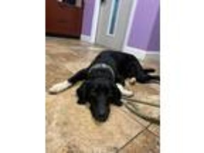 Adopt Gopher a Border Collie, Labrador Retriever