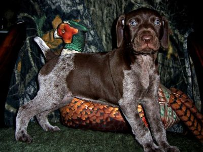 German Shorthaired Pointer PUPPY FOR SALE ADN-107318 - AKC German Shorthaired Pointer Puppy Carolina