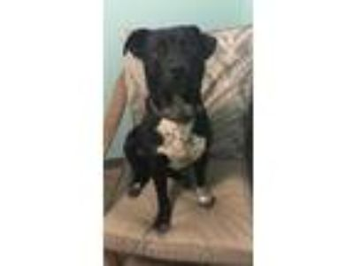 Adopt Harley a Black Australian Cattle Dog / American Pit Bull Terrier / Mixed