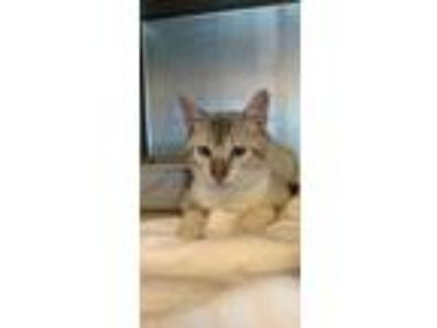 Adopt 41985075 a White Domestic Shorthair / Domestic Shorthair / Mixed cat in