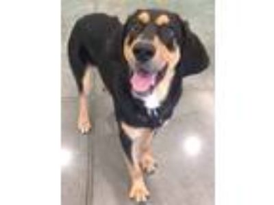 Adopt Buddy a Hound (Unknown Type) / Shepherd (Unknown Type) / Mixed dog in