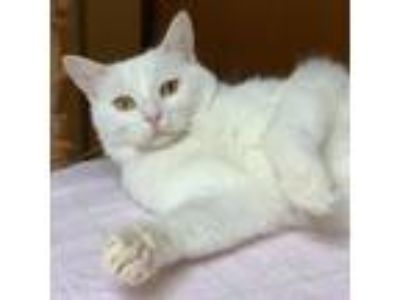 Adopt Starfire a White Domestic Shorthair cat in Madison, WI (25305468)