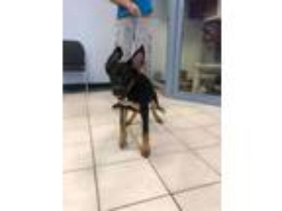 Adopt Kyra a German Shepherd Dog