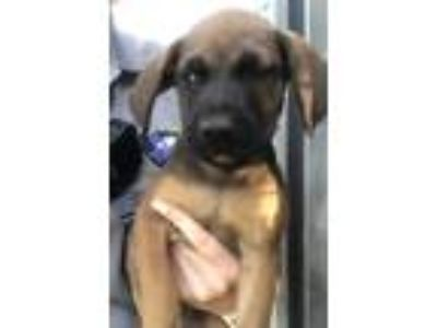 Adopt RUGER a Brown/Chocolate - with Black Labrador Retriever / Mixed dog in San