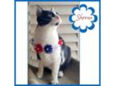 Adopt Sheena a Black & White or Tuxedo Domestic Shorthair / Mixed cat in Dallas