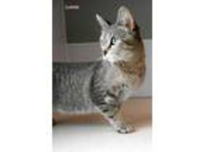 Adopt Loona a Gray or Blue Domestic Shorthair / Domestic Shorthair / Mixed cat