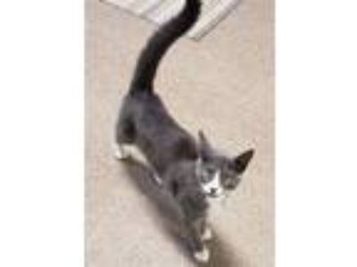 Adopt Grey a Domestic Short Hair