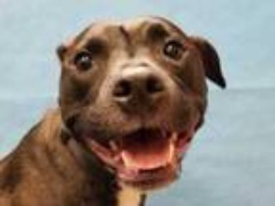 Adopt Layla a Black American Pit Bull Terrier / Mixed dog in Golden Valley