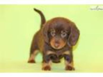 Newbury Mini Dachshund Male cho and tan