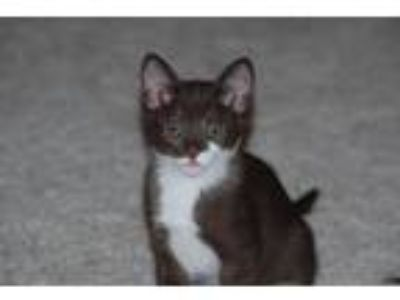 Adopt Coco a Domestic Shorthair (short coat) cat in Parlier, CA (25584407)