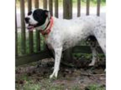 Adopt Olaf a Black - with White Mixed Breed (Large) / Mixed dog in Middleburg