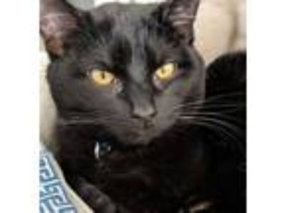 Adopt Denali a All Black Domestic Shorthair / Mixed cat in Brighton