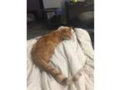 Adopt Kitty baby a Orange or Red Tabby Domestic Mediumhair / Mixed cat in