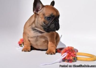 Ready Now Top Quality French Bulldog Puppies