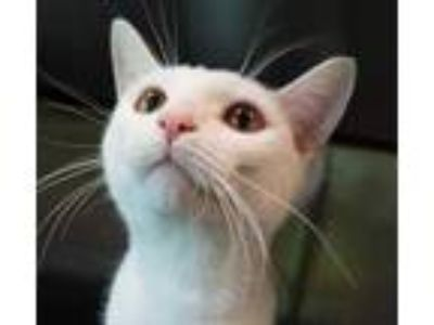 Adopt Halo 26068-c a White Domestic Shorthair / Domestic Shorthair / Mixed cat