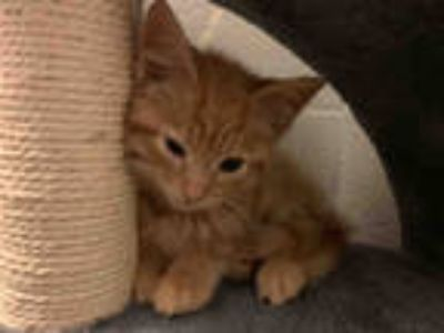 Adopt LANCE a Orange or Red Tabby Domestic Shorthair / Mixed (short coat) cat in