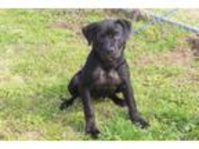 Adopt Sheri a Black Labrador Retriever dog in Olive Branch, MS (25065003)