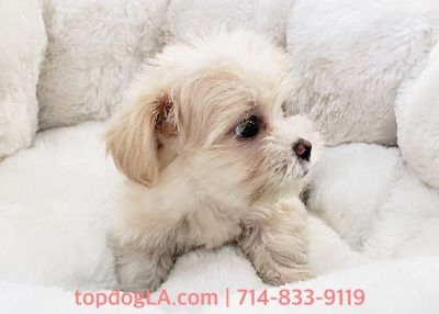 Maltipoo Puppy - Male - Bex ($950)